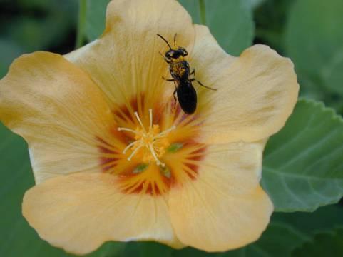 hawaiian-bees