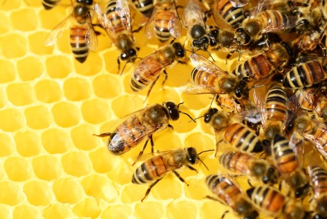 honey-bees-326337_960_720