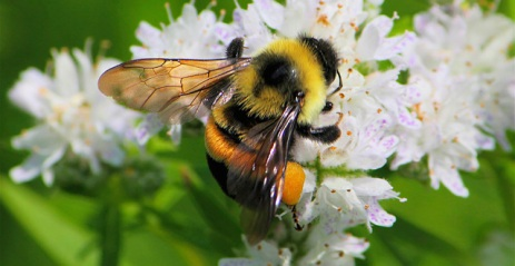 rusty-patched-bumblebee
